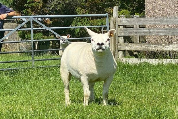 ON -LINE SALE SHEEP SELL IN 24 HOURS